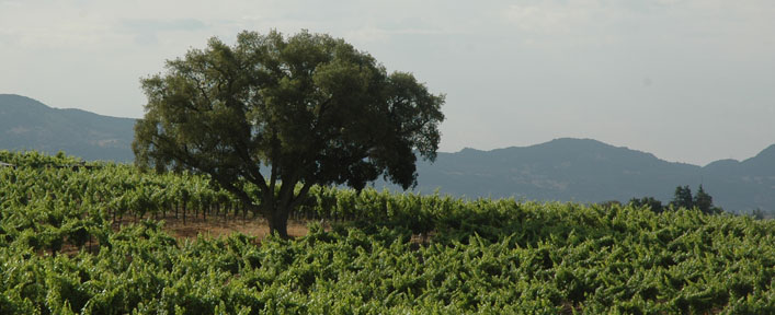 Cork Tree Vineyard