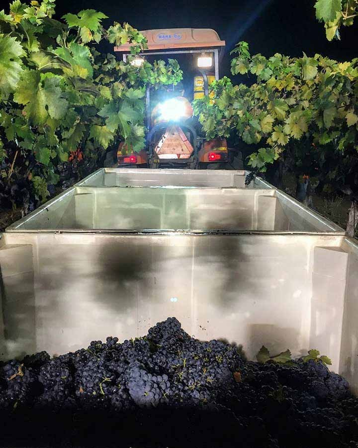 Zinfandel being picked